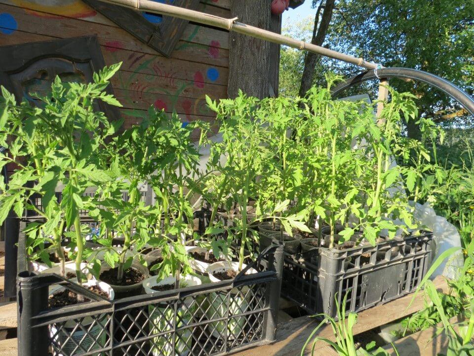 Sadike paradižnika vzgojene s pomočjo zimske setve