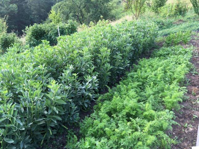 Vzgoja boba in korenja na vrtu brez prekopavanja